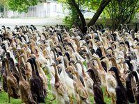 Des canards agriculteurs.