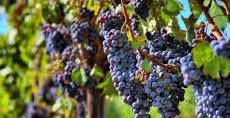 #Merlot Producers New South Wales Australia Page 4