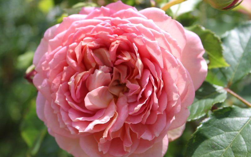 Découvrez le rosier anglais 'Jubilee Celebration'