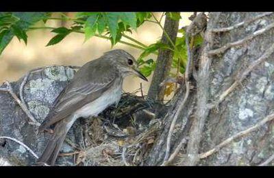 Le gobemouche gris, nidification filmée cet été à Malras