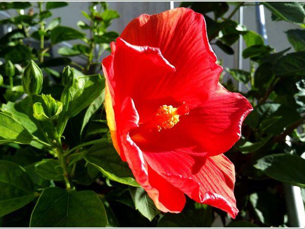 Hibiscus et ananas victoria...