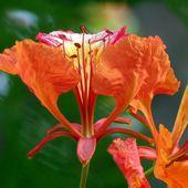 Flamboyant orange... - Fleur du jour (19-17) - Noy et Gilbert en Thaïlande