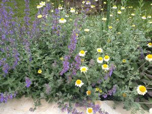 3 juin - Anthemis tinctoria 'Sauce Hollandaise'