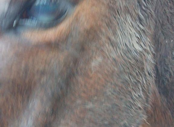 Ulcère cornéen cheval