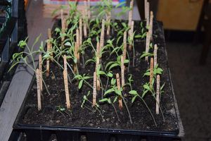Les plants de tomates filent : pas de panique
