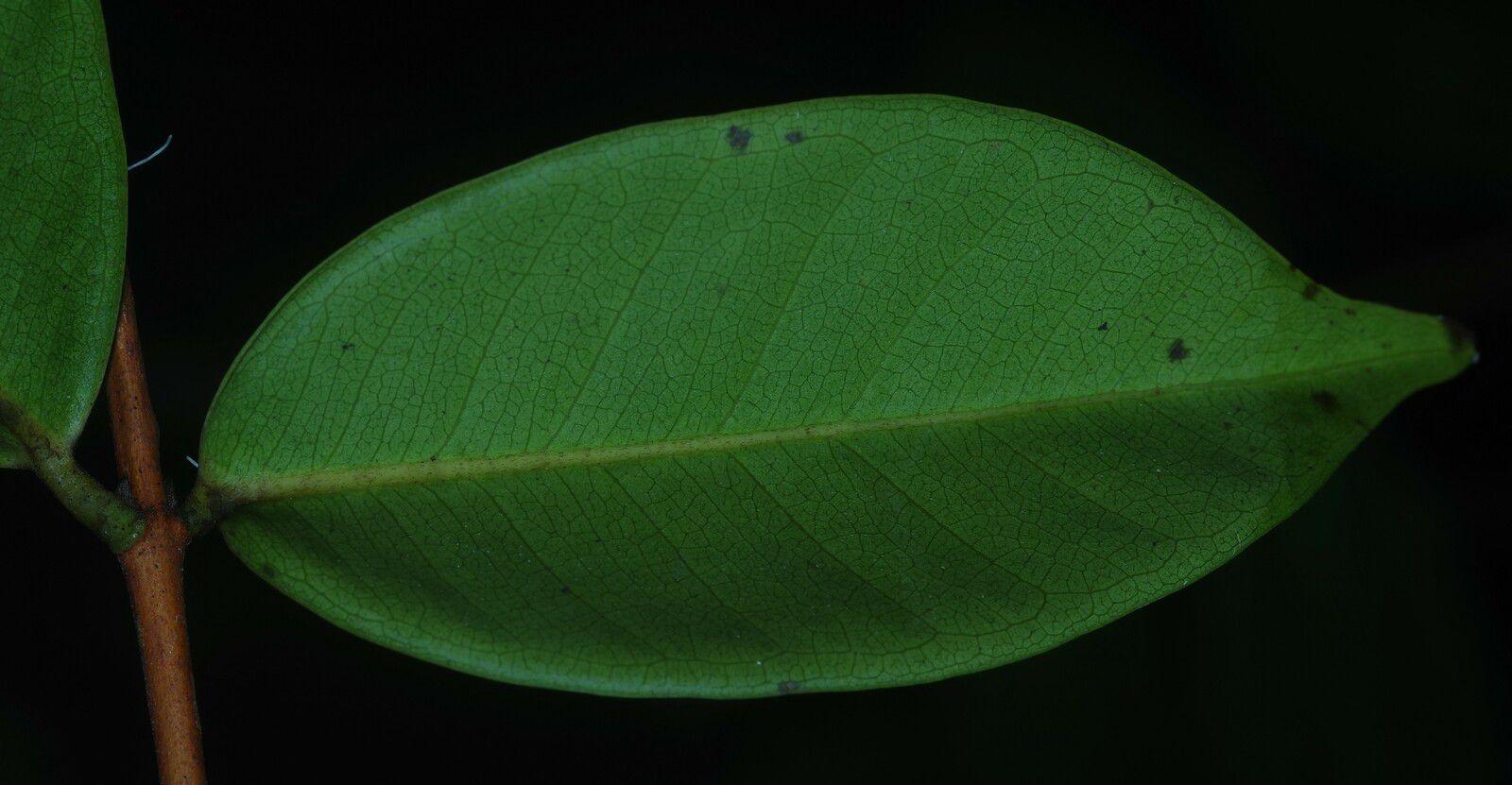 Myrcia pyrifolia