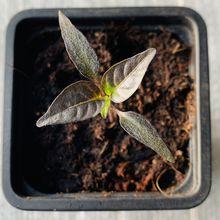"""Premier essai de semis de piment """"thaï purple"""" , dans le micro jardin urbain"""