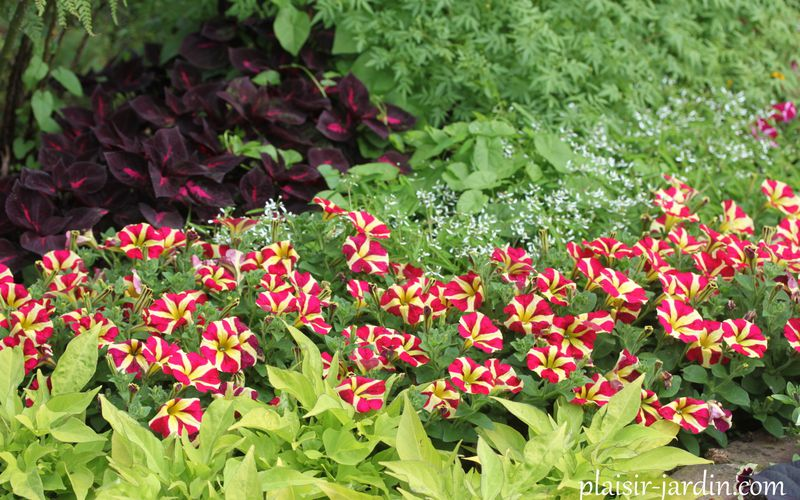 Le pétunia Queen of Hearts  (ou 'Heartbreaker')