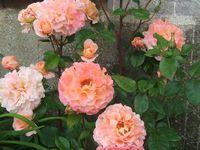 Les rosiers en F. de Fk à Fra.