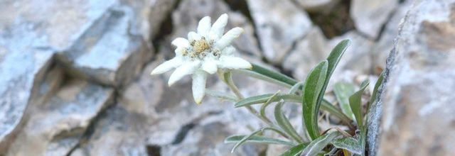 Les edelweiss