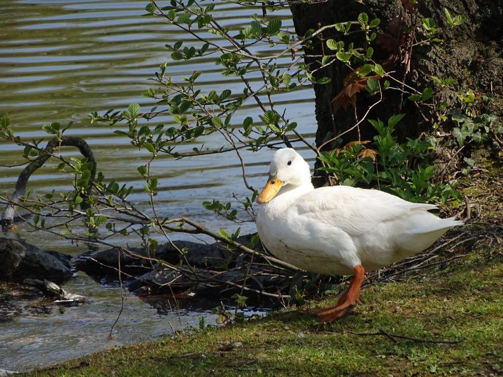 Petite promenade au Lac de Maison-Blanche et environs (Gagny 93)