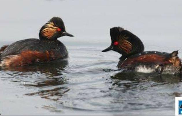 Samedi 13 avril de 9h00 à 12h00 partez à la dėcouverte des oiseaux du site ornithologique des 5 tailles à  Thumeries