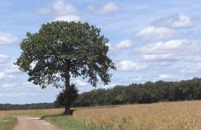 Le chêne, sa feuille et l'Homme