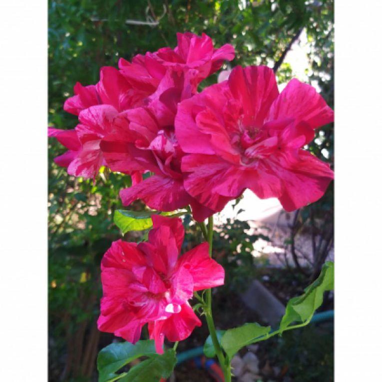 la Reine de la Nuit® photo site Promesse de fleur