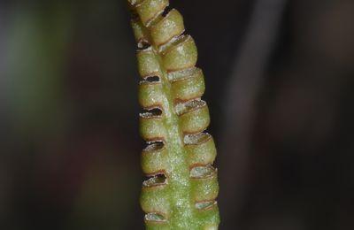 Ophioglossum sp (O. ellipticum ?)
