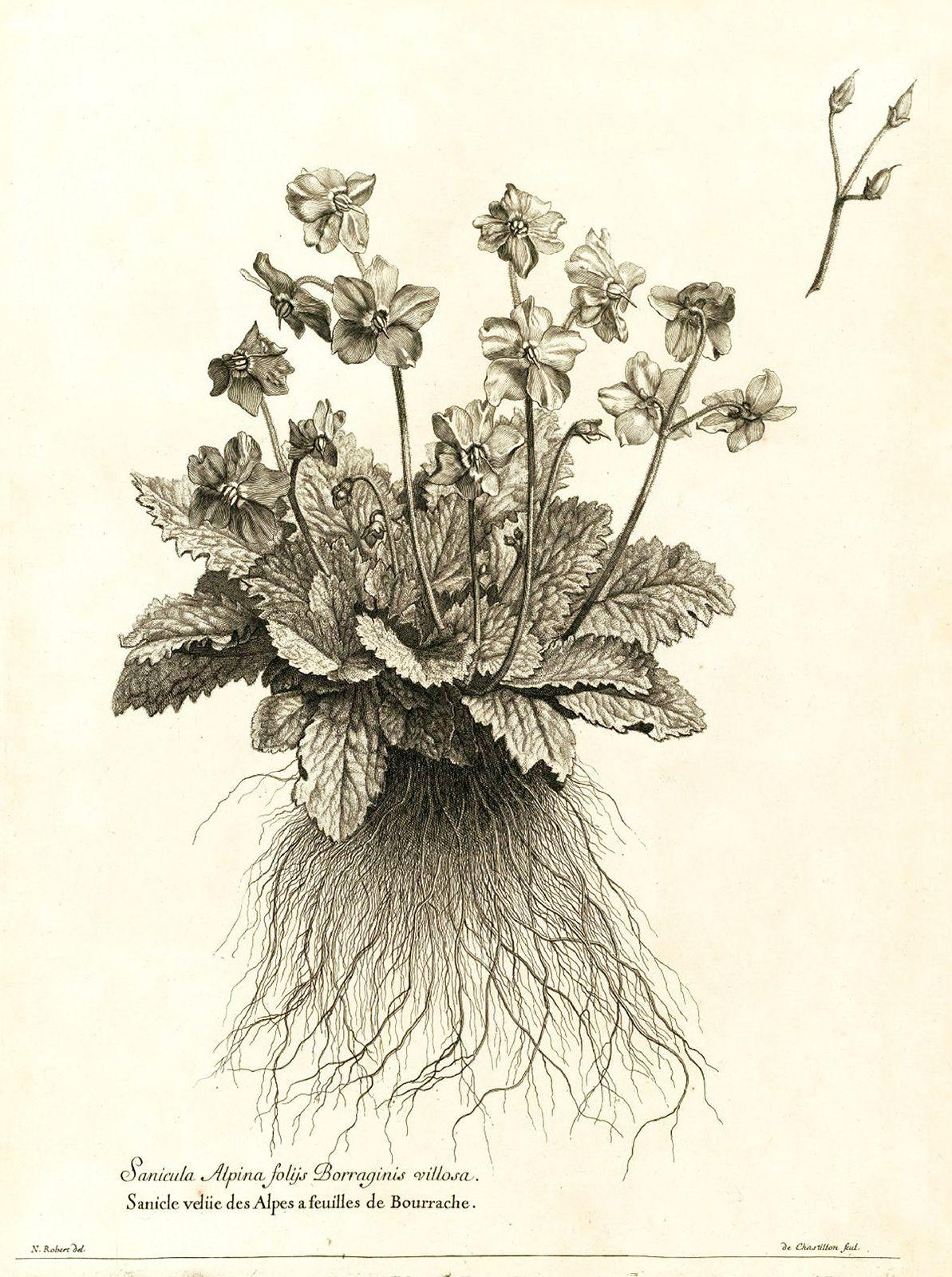 « Recueil des plantes gravées par ordre du roi Louis XIV » de Denis Dodart