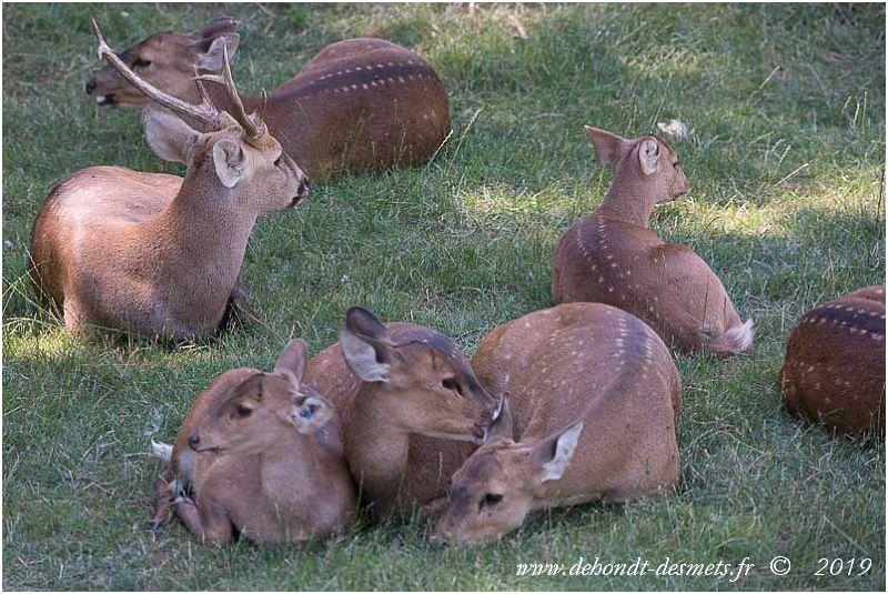 Le cerf cochon est plutôt un animalsolitaire.S'il vit parfois en petits groupes, il ne forme pas de harde soudée.