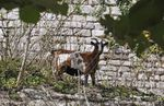 Chèvres sous les remparts à Château-Thierry