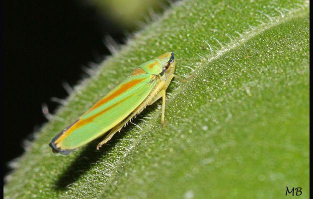 Cicadelle : Graphocephala fennahi