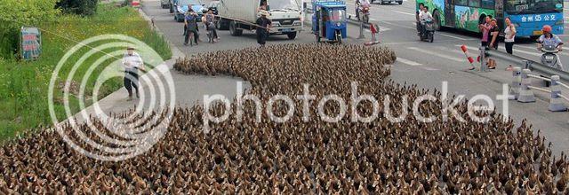 Passage de canards