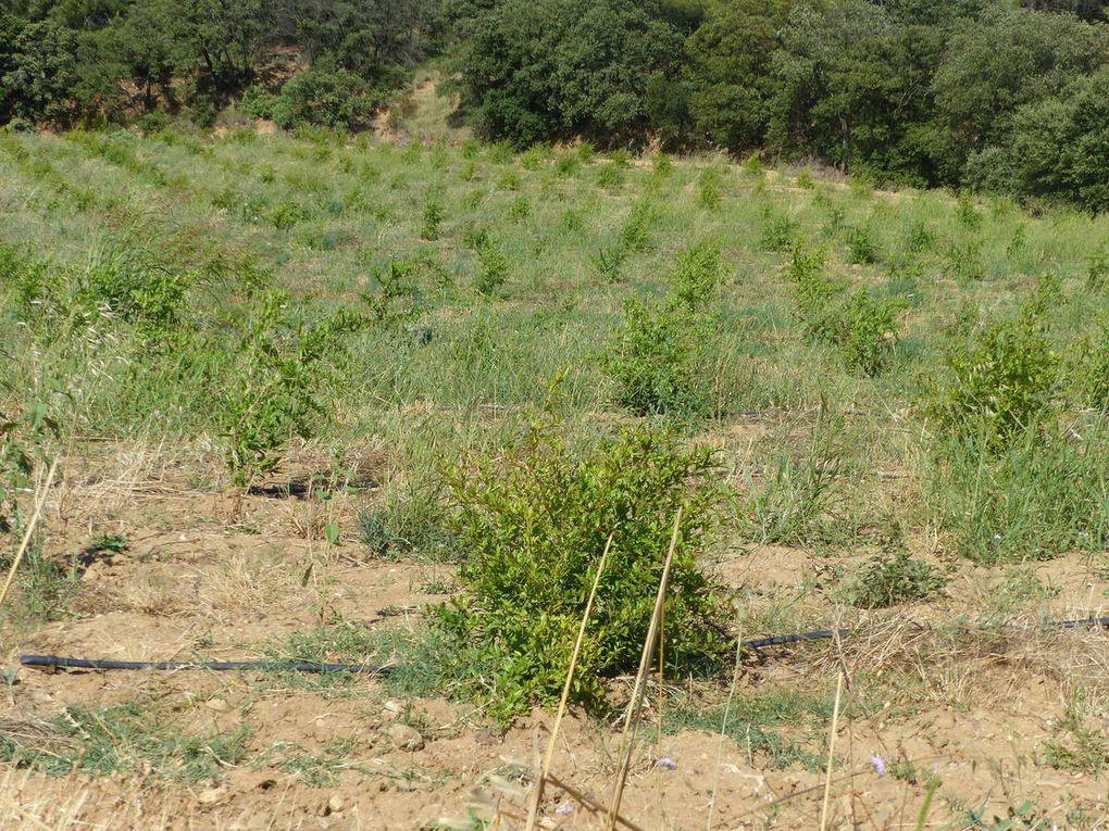 Etonnant ce champ de grenadiers (Punica granadum). Plus habituelle, l'épineuse ronce commune (Rubus fruticosus) et ses délicieuses mûres.