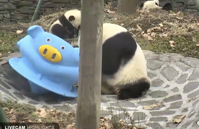PANDA webcam en direct