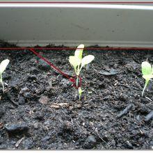 Le semis de salade manque de lumière