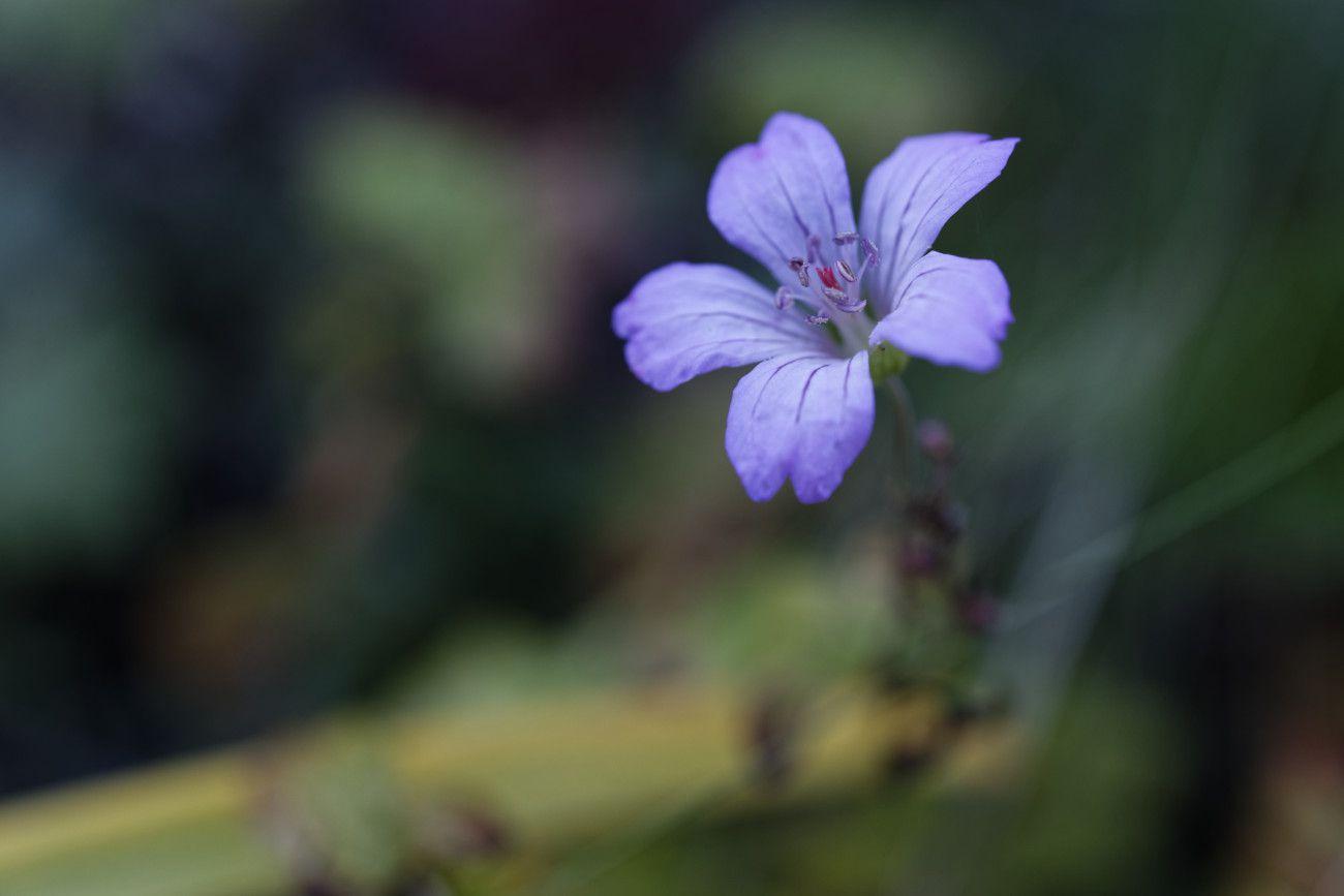 Geranium nodosum - geranium noueux