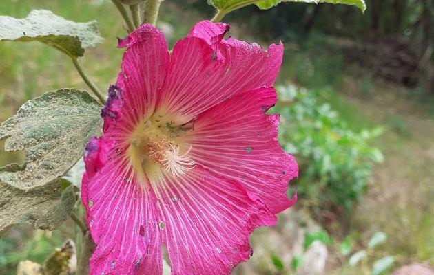 Comment soigner les roses trémières ?