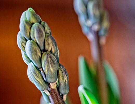 Hyacinthus orientalis (jacinthe)