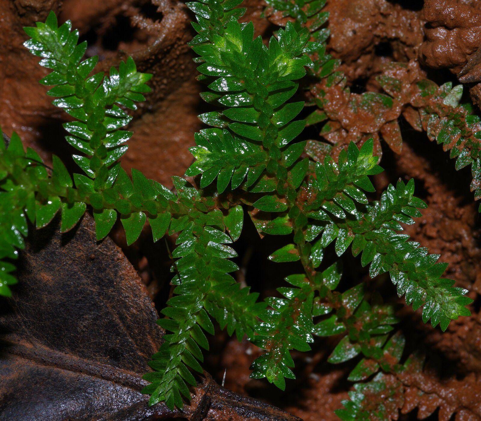 Selaginella porelloides