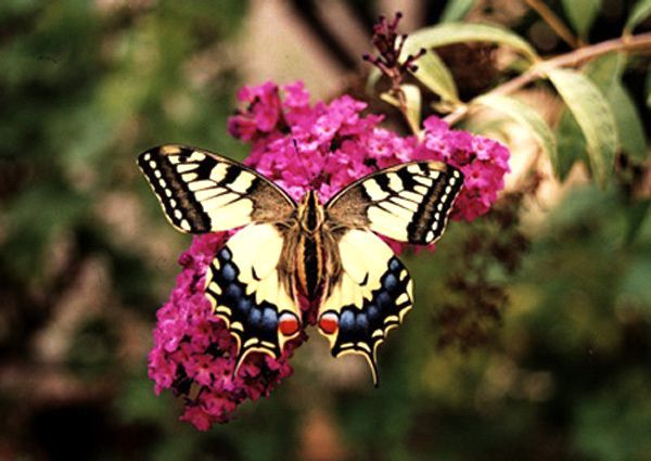 "Papilio machaon ou ""grand porte-queue"" sur buddleia"