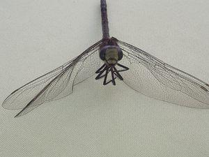 Photos de libellule dans un jardin de Haguenau