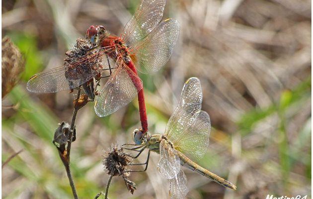 Les libellules : Sympetrum fonscolombii