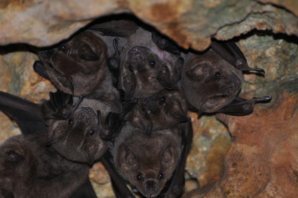 Bats of Guadeloupe