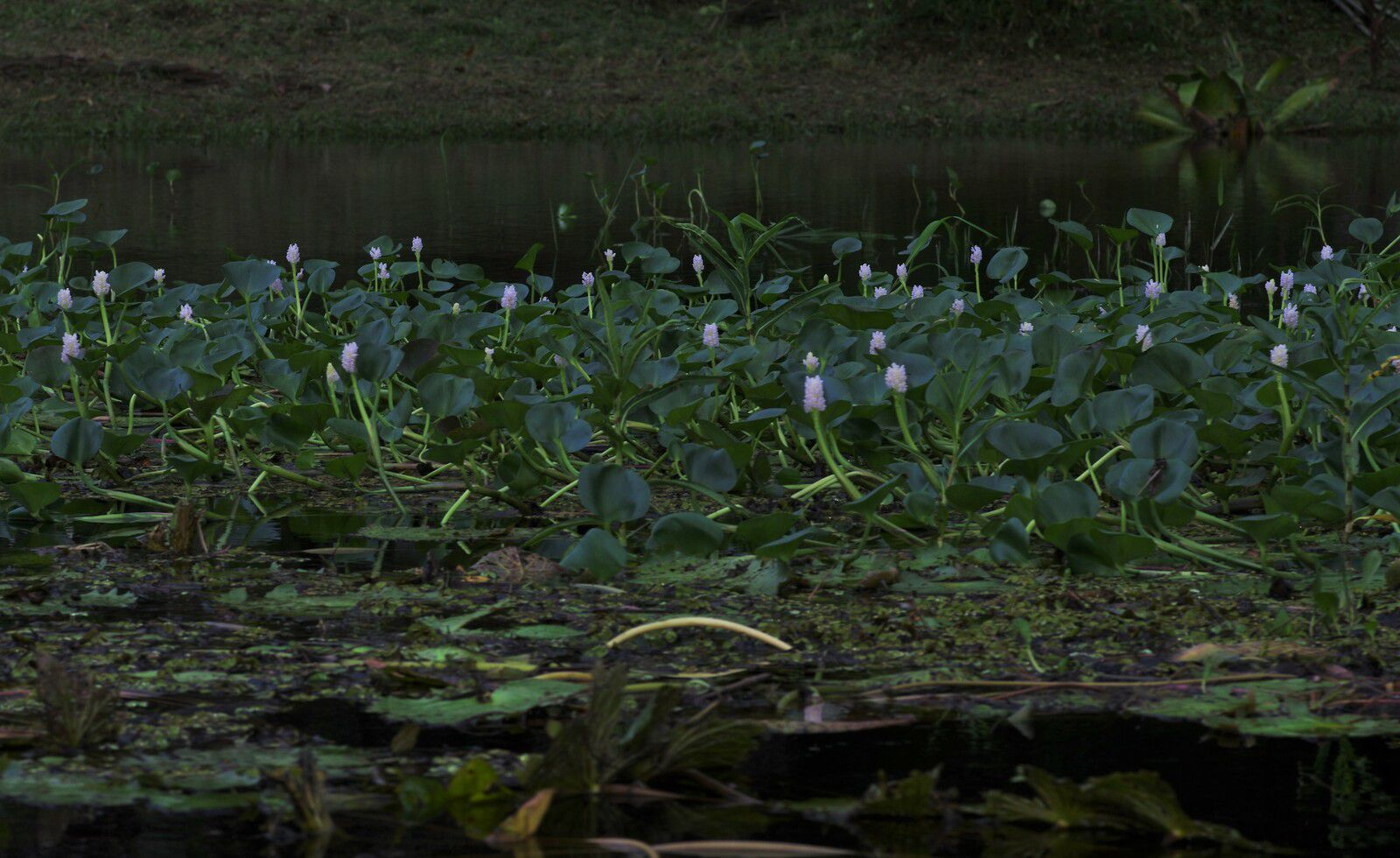 Pontederia rotundifolia
