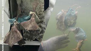 Quand les masques usagés piègent les animaux ! (Diaporama) #ClimateCrisis