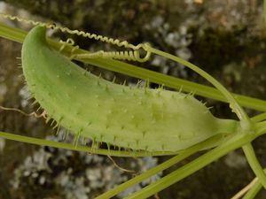Une comparaison entre les fruits de l'achocha lisse et l'épineux