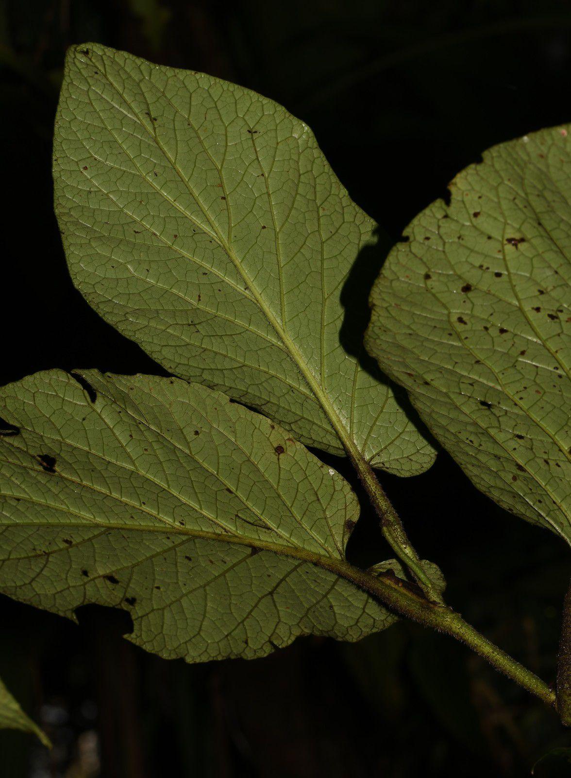 Piper sp (P. cernuum ou P. obliquum)
