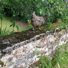 Une poule sur un mur.......
