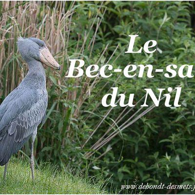 Le Bec-en-sabot du Nil