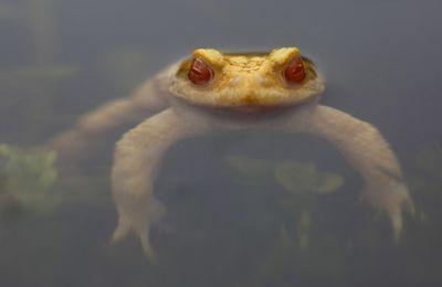 Crapaud commun albinos (Amiénois)