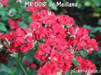 Le concours de roses de Le Roeulx 1/3: la roseraie