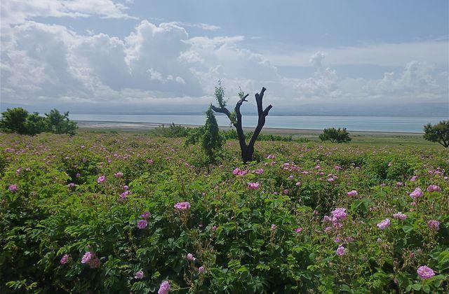 Au pays des roses turques (2)