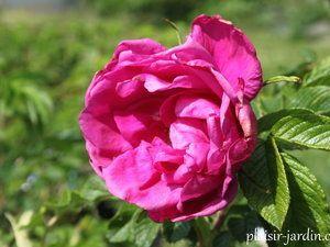 Les rosiers en M. Mme Melle et Miss