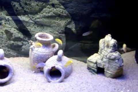 bac 250l avec labidochromis caeruleus et mpanga