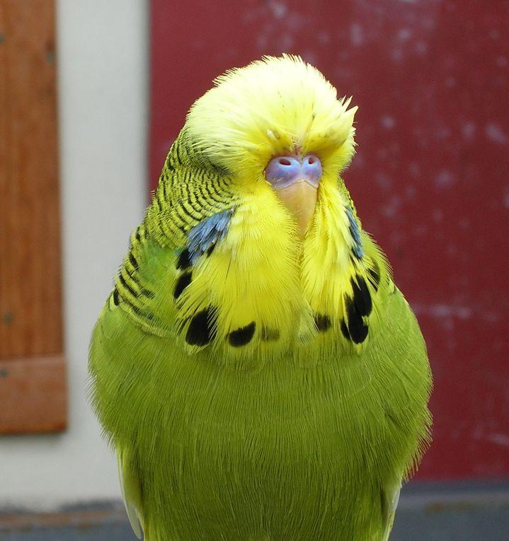 Oiseaux issus de l'élevage d'un de nos membres