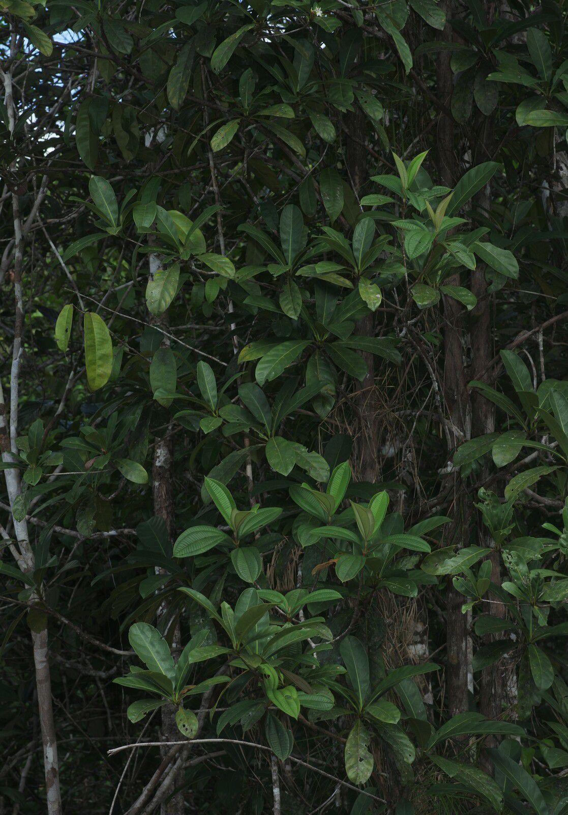 Duroia longiflora (à confirmer)
