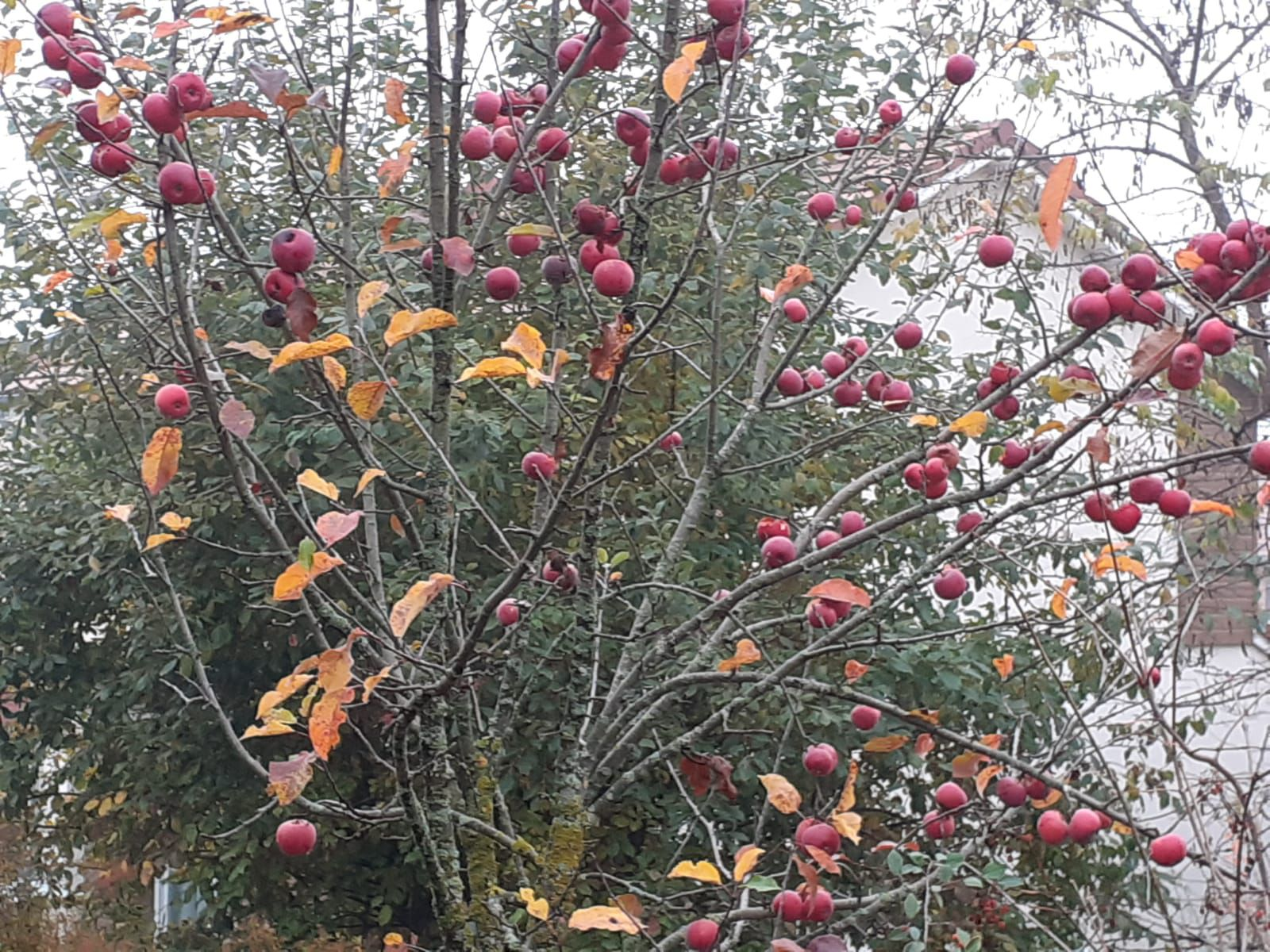 Pommes rouges, ancêtres des boules de Noël