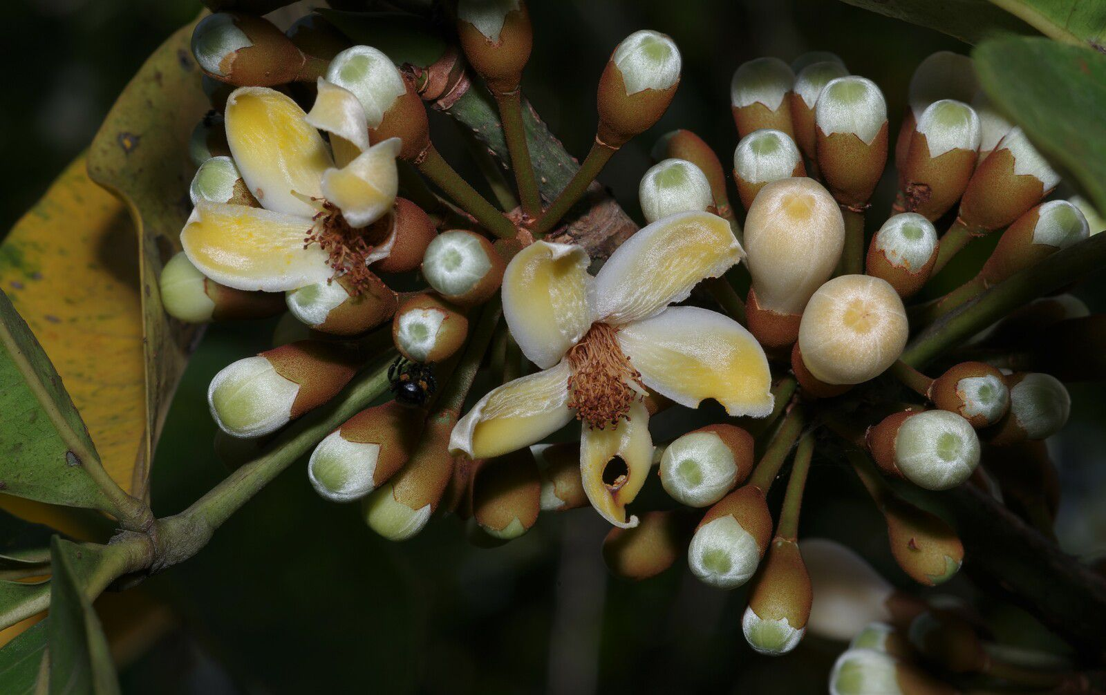 Eriotheca globosa